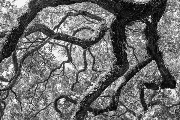 Beneath an Angel's Oak Wings